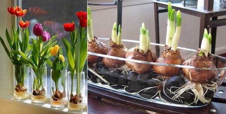 Cultiva-tus-propios-tulipanes-de-una-manera-sencilla